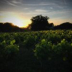 Sunset over vines